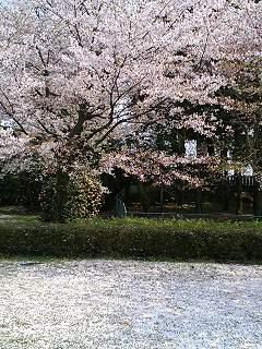 観桜園横公園(桜)